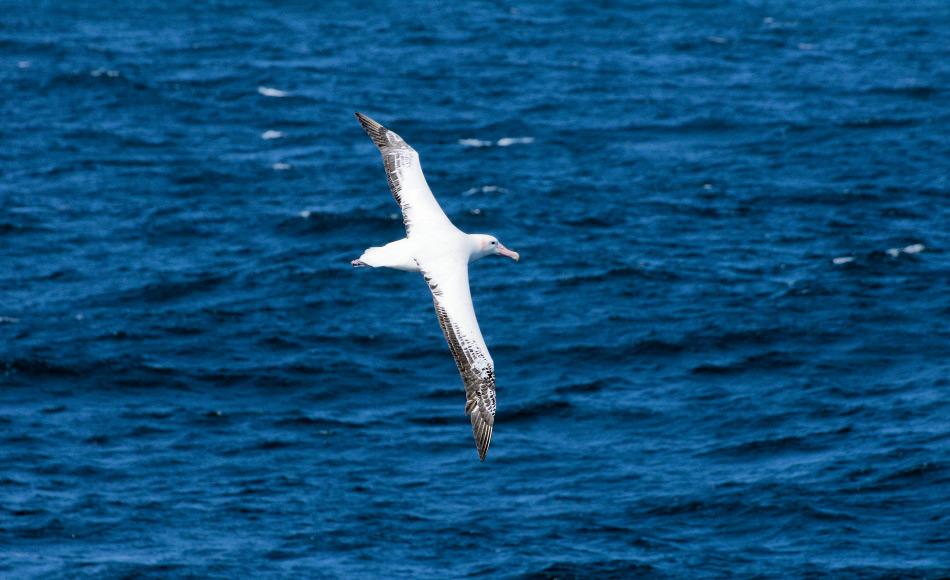 Ein Albatros war schon immer ein spektakulärer Anblick, auch in den alten Zeiten. Beinahe mühelos kann das Tier stundenlang ohne einen Flügelschlag sich in der Luft halten. Früher dachte man, dass Albatrosse die Seelen ertrunkener Seeleute in den Himmel tragen. Bild: Michael Wenger
