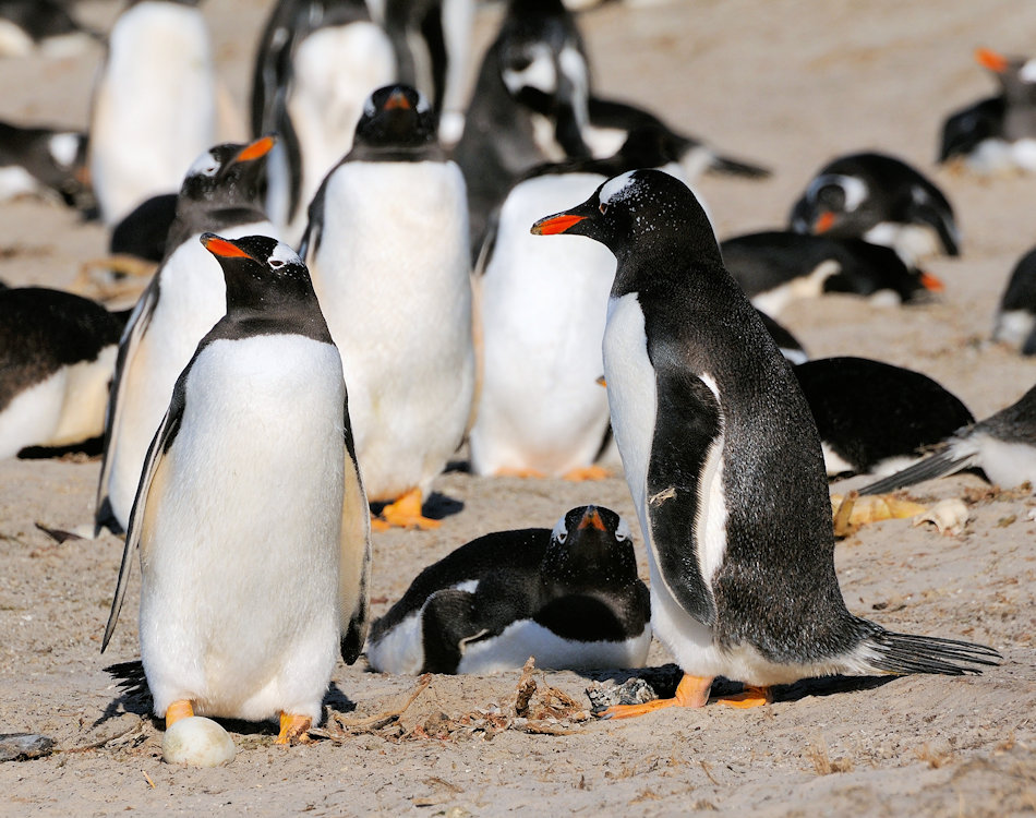 Eselspinguine sind die drittgrösste Pinguinart und werden bis zu 75 cm gross und 7 kg schwer. Sie sind die Generalisten innerhalb der Pinguine und ernähren sich von Fischen und verschiedenen Krebsarten. Bild: Michael Wenger