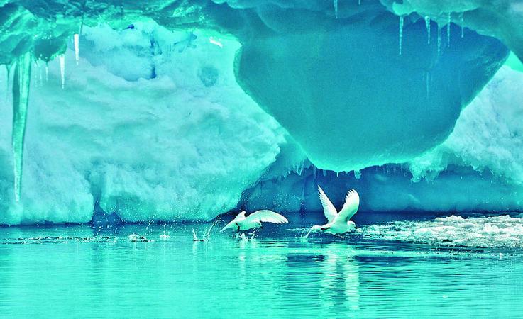 Die schneeweissen Vögel mit ihrem markanten schwarzen Schnabel sind echte Antarktisbewohner. Sie
