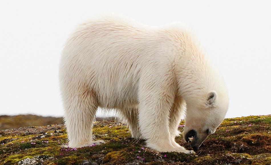 Vögel in der Arktis haben keine andere Wahl als ihre Nester auf dem Boden anzulegen. Dadurch werden sie hin und wieder von Füchsen und Eisbären geplündert. Doch früher war das Risiko kleiner als heutzutage, gemäss der Studie. Bild: Michael Wenger