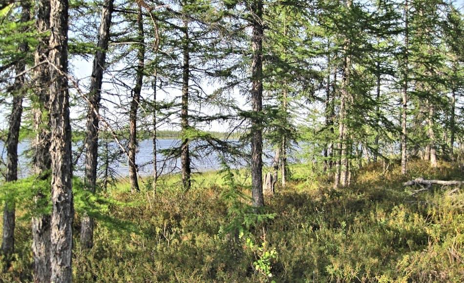 Die Lärchen, die auf der Taimyr-Halbinsel im russischen Norden wachsen, sind zwar miteinander verwandt, weisen aber trotzdem grosse Unterschiede in ihren Ansprüchen und Wachstumsraten auf. Bild: Laura Epp, AWI