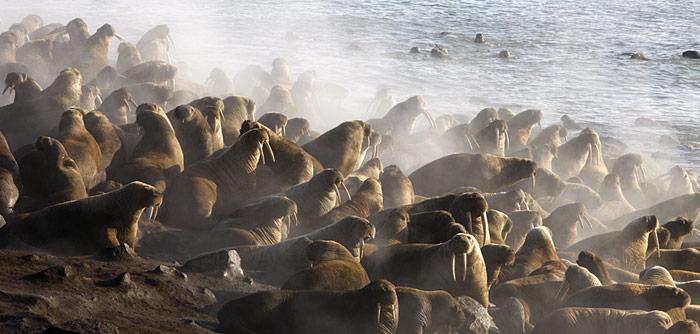 Walrosse in Vankarem