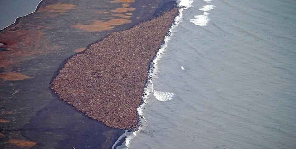 ...drei Tage später waren es bereits 35.000 Tiere welche sich dicht gedrängt an der Küste eingefunden haben.