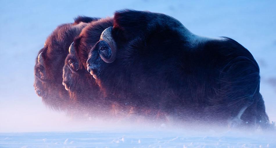 Beim Betrachten der Bilder spürt der Leser die Kälte der Arktis.